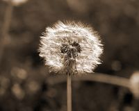 Dandilion Royalty Free Stock Photos