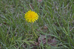 Dandilion, Bane of Lawns Royalty Free Stock Photos