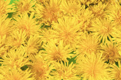 Dandilion flowers Royalty Free Stock Photography
