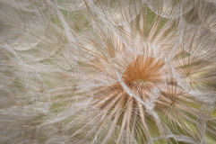Dandilion Fluff Royalty Free Stock Image