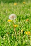 Dandilion going to seed in a spring lawn Stock Image