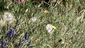 Dandilion and lavender with wildflowers growing. In farm stock footage