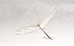Dandilion lying in puddle of water Stock Images