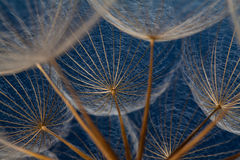 Dandilion seeds against a blue background Stock Photo