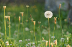 Dandilion in sunlight Royalty Free Stock Images