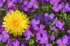 Dandilion and violets Royalty Free Stock Photo