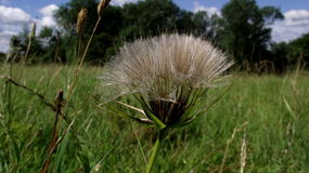 Dandilion Royalty Free Stock Photo