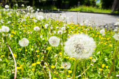 Dandilion and weeds on ground near road. Royalty Free Stock Photos