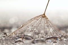 Dandilion on wet surface Stock Photos