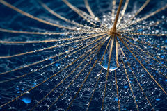Dandillion mojado con gota grande del agua Imagen de archivo