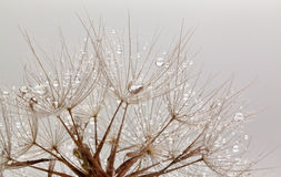 Dandillions with water drops Stock Photos