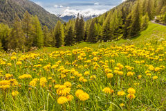 Dandilon meadow in South Tyrol Stock Images