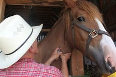 Dando al caballo una inyección Foto de archivo libre de regalías