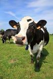 Dando boas-vindas à vaca Imagens de Stock Royalty Free