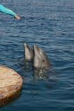Dando a mano a delfínes Imagen de archivo libre de regalías