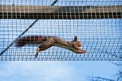 Dando uma corrida esquilos fotografia de stock royalty free