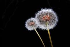 dandy цветет львев Стоковое Изображение RF