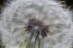 Dandy 1 Photos libres de droits