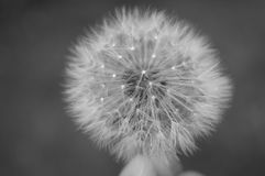Dandy Dandelion Royalty Free Stock Photos