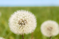 Dandy Dandelions. Aren't dandelions just very dandy royalty free stock images