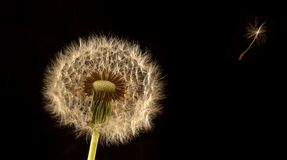 Dandy Lion. Studio set up for wild flower with lighting royalty free stock images