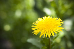 Dandy Lion Bloom in Garden. Dandy lion bloom close up in the middle of green garden Royalty Free Stock Photo