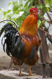 Dandy rooster. Red rooster stock photo