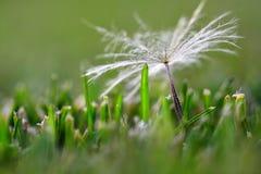 Dandylion kärnar ur i grönt gräs Arkivbilder