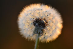 Dandylion In Sunlight with Seeds Detail Royalty Free Stock Images