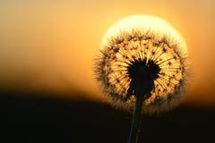 Dandylion W świetle słonecznym z ziarno szczegółem Zdjęcia Stock