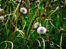Dandylion Weeds Fotografering för Bildbyråer