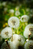 Dandylion Weeds in Field Growing Royalty Free Stock Photography