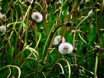Dandylion Weeds Stock Image
