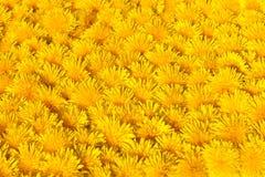 dandylionen blommar yellow Arkivfoton