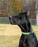 Dane at Attention. Great dane sits at attention.  He has on a green collar and has golden brown eyes Stock Image
