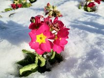 Flowers in the Snow. From Dane John Garden in Canterbury Kent, freak snow fall catches the spring flowers by suprise Stock Photos