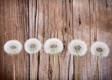 Danelion fluff on wooden background Royalty Free Stock Images