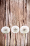 Danelion fluff on wooden background Stock Photos