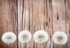Danelion fluff on wooden background Royalty Free Stock Photography