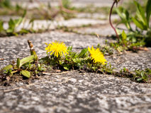 Danelion sprouting on hard surface. Photo shows a dandelion plant with yellow flower growing between patio stones Royalty Free Stock Images