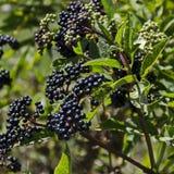 Danewort丛林、毒灌木或者接骨木花ebulus Fructus ebuli  免版税库存照片