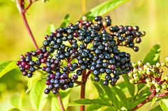Danewort, Sambucus ebulus Royalty Free Stock Photo