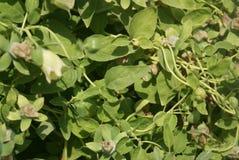 Dang shen o ginseng del ` s dell'indigente, pilosula di Codonopsis Immagine Stock