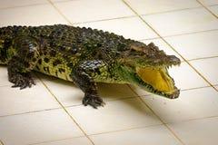 Dangarous在玻璃容器的绿色鳄鱼在鳄鱼农场 免版税库存照片