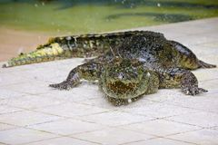 Big green crocodile in terrarium on the crocodile farm royalty free stock image