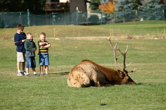Danger. Three children standing 10 feet behind a sleeping bull elk on a golf course stock image