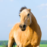 Danger angry horse runs to you Royalty Free Stock Photo