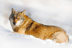 Danger animal in the snow. Winter scene with wolf in the forest. Gray wolf, Canis lupus, portrait with stuck out tongue, at white Stock Photo