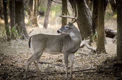 Danger behind. A 10 pt white tail deer buck stands amongst trees alert to any danger in the area Stock Photo