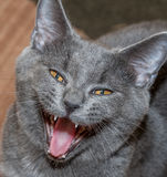 Danger. Cat hissing in the pose showing teeth and squinting his eyes Royalty Free Stock Photos